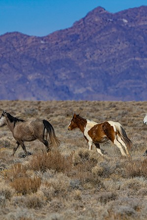 web2000_herds_of_the_west_desert_greig-huggins_dsc0093-uot-1000px-preview